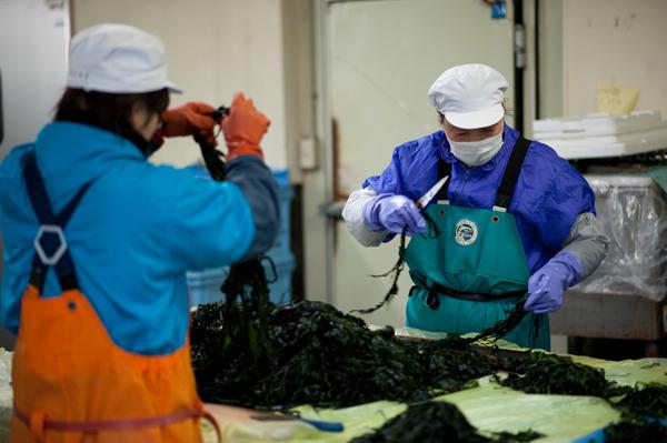 木村水産のワカメ加工