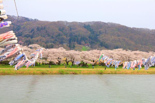 満開の桜に、鯉泳ぐ