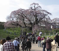 見物客で賑わう三春の滝桜