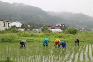 """5月は全く雨が降らず稲の生育が心配されたが、取材当日は恵の雨。「昔は自分の田んぼを潤すため、こっそり夜中に田んぼの用水路に出かけたんだ。それを""""夜水を引く""""と言うんだよ」(吉成氏)"""