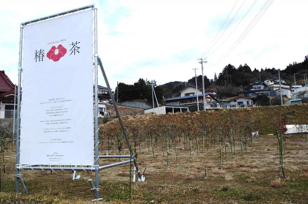 椿を栽培中の農地。被災によって空農地になってしまったところに椿を植え、陸前高田に椿花でレッドカーペットのような風景を、というのが髙橋さんの夢です。