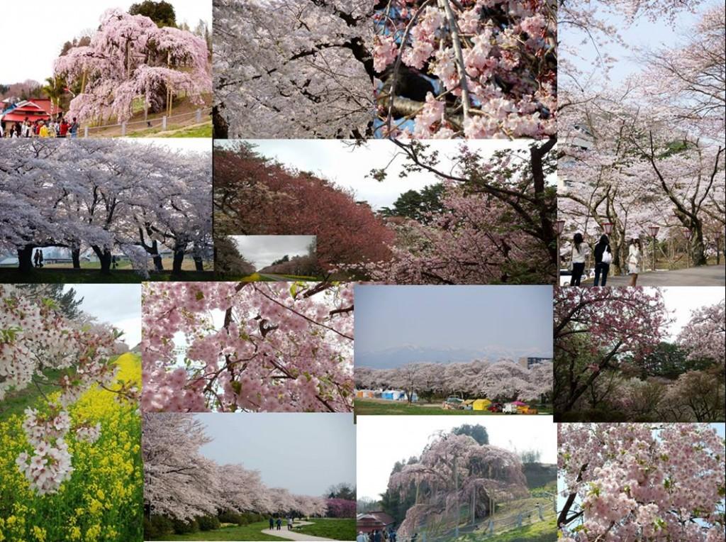 Facebookグループ「みんなで巡る・桜の札所」に投稿された写真の数々