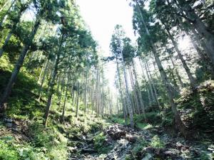 台風や雪の影響など、杉の頭を押さえつける要因が少ないことから、南三陸杉は縦にすくすく伸びる。